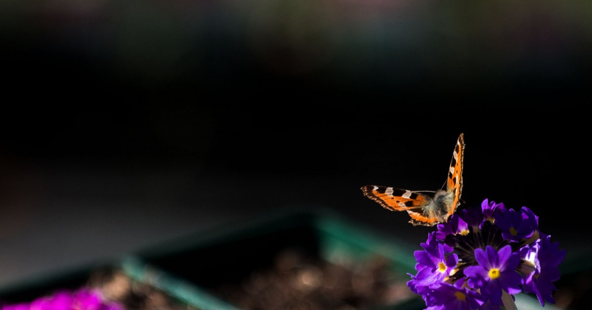 farfalle corso lodi
